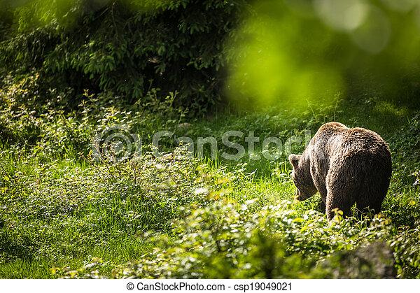 Brown bear (Ursus arctos) - csp19049021