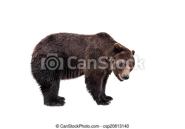 Brown bear, Ursus arctos - csp20813140