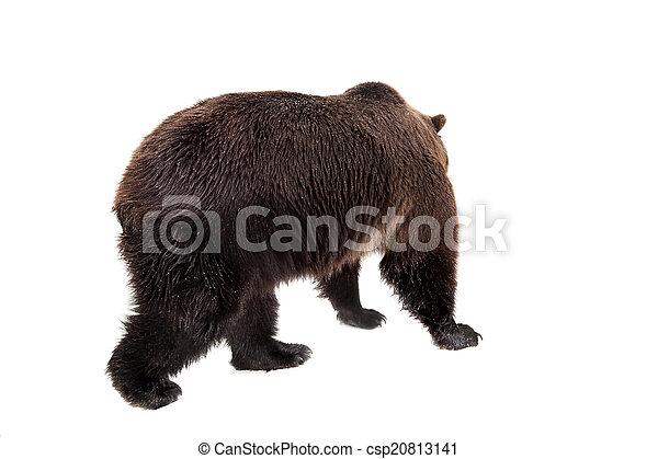 Brown bear, Ursus arctos - csp20813141