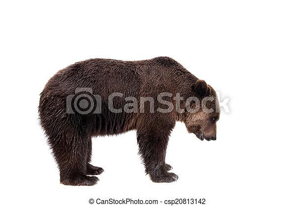 Brown bear, Ursus arctos - csp20813142
