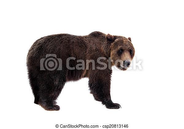 Brown bear, Ursus arctos - csp20813146