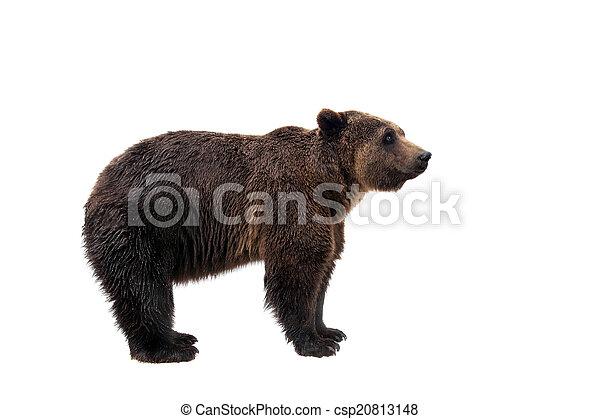 Brown bear, Ursus arctos - csp20813148
