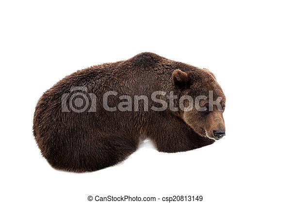 Brown bear, Ursus arctos - csp20813149