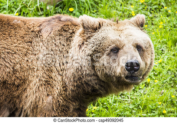 Brown bear Ursus arctos - csp49392045