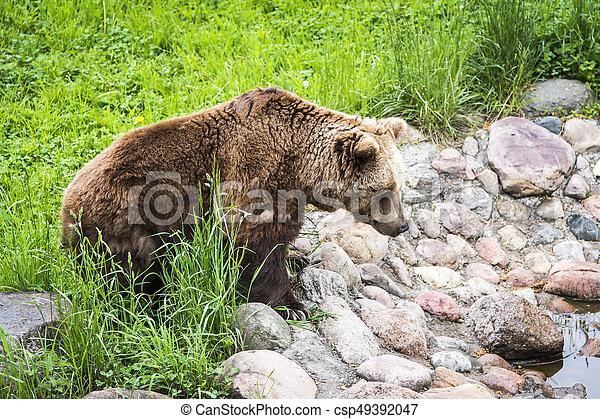Brown bear Ursus arctos - csp49392047