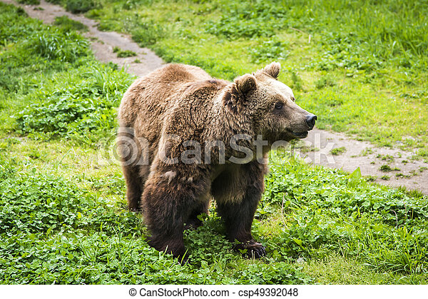 Brown bear Ursus arctos - csp49392048