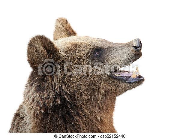 Brown bear (Ursus arctos) - csp52152440