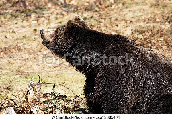 Brown Bear (Ursus arctos) - csp13685404
