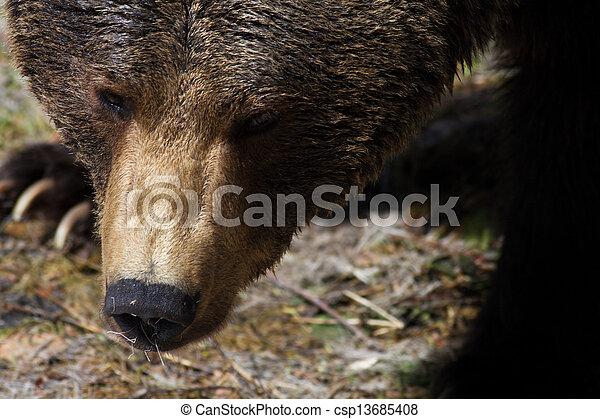 Brown Bear (Ursus arctos) - csp13685408