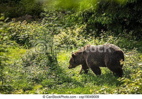 Brown bear (Ursus arctos) - csp19049009