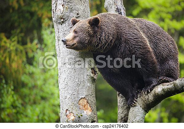 Brown bear (Ursus arctos) - csp24176402