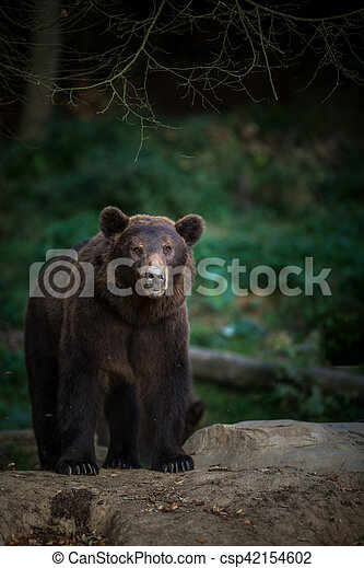 Brown bear (Ursus arctos) - csp42154602