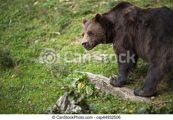 Brown bear (Ursus arctos) - csp44932506