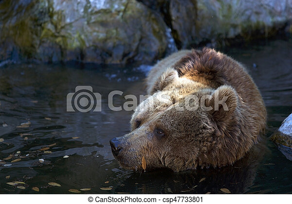 Brown bear (Ursus arctos) - csp47733801