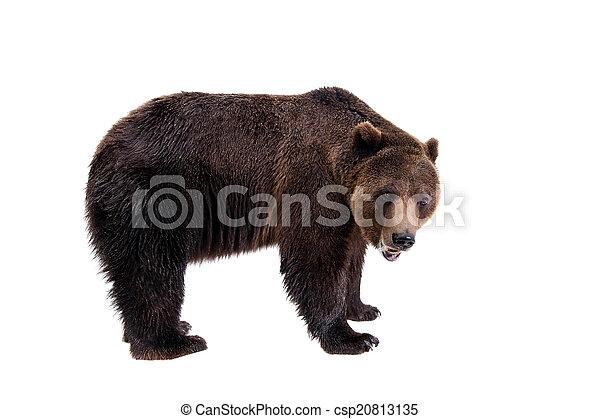 Brown bear, Ursus arctos - csp20813135