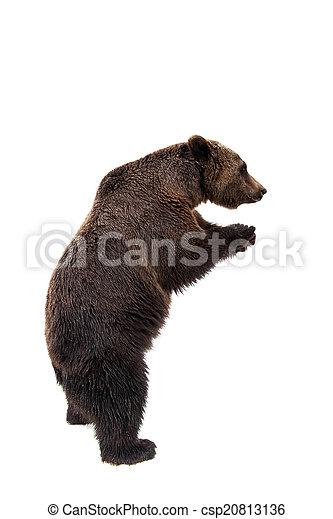 Brown bear, Ursus arctos - csp20813136