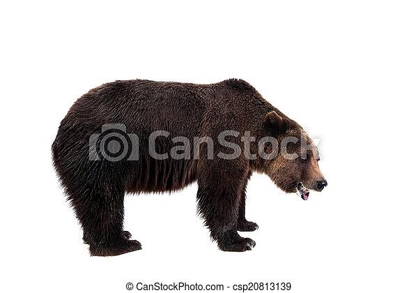 Brown bear, Ursus arctos - csp20813139