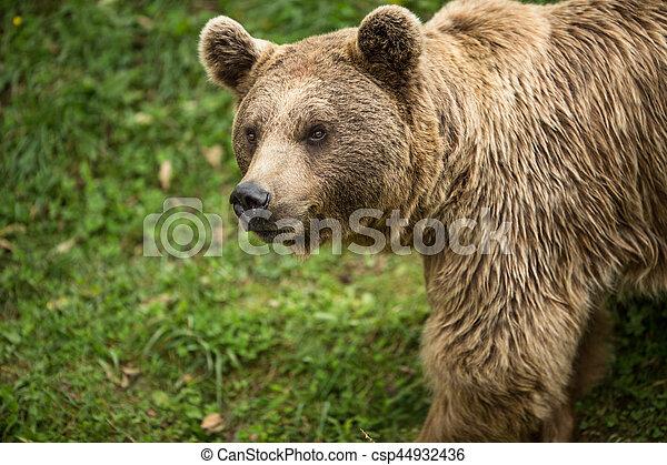 Brown bear (Ursus arctos) - csp44932436