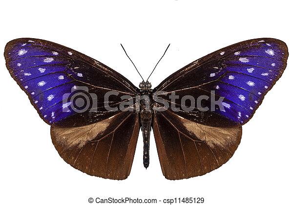 brown, blue and purple butterfly species Euploea Mulciber - csp11485129