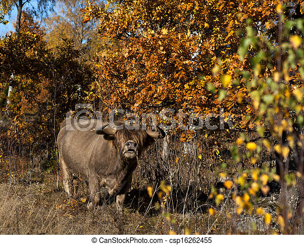 brown bull - csp16262455