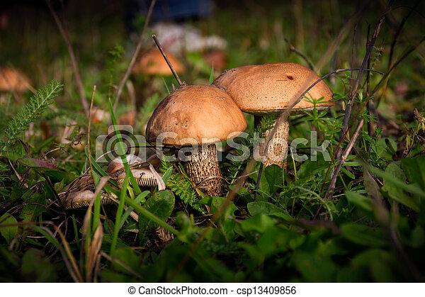 Brown-cap boletus in the forest - csp13409856