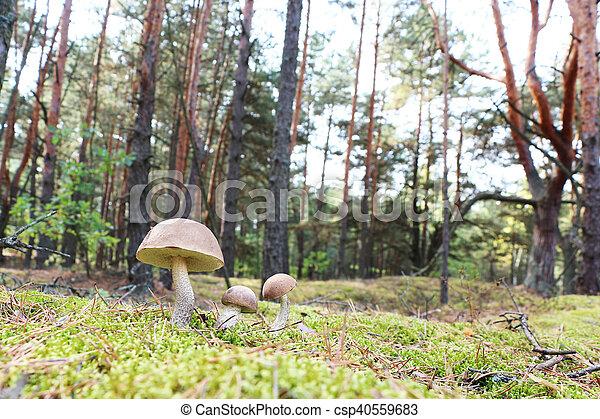 brown-cap mushrooms in forest - csp40559683