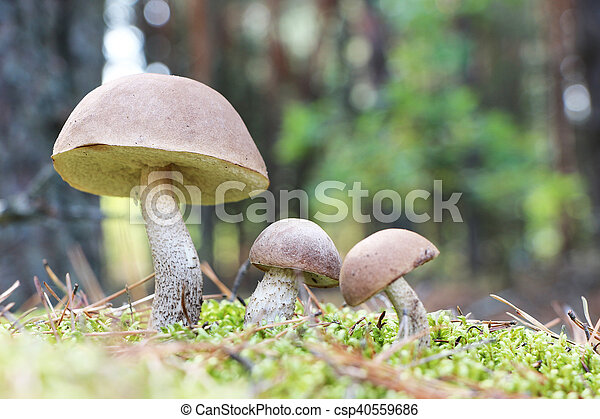brown-cap mushrooms in moss forest - csp40559686