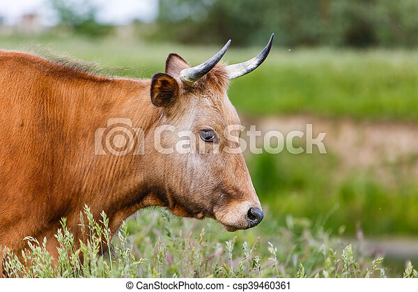 Brown cow in the meadow - csp39460361