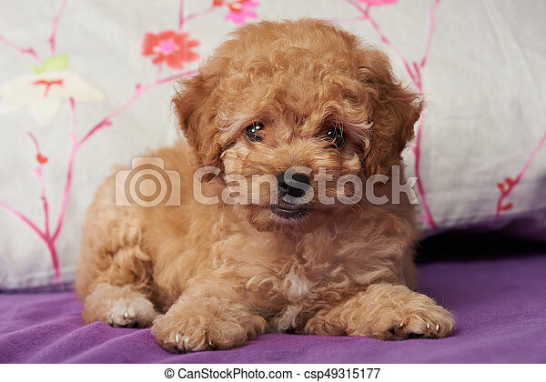 Brown cute poodle puppy