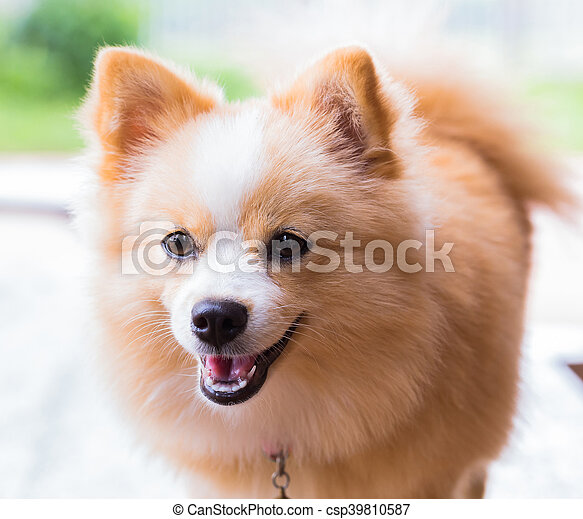 Brown Dog Standing Looking Forward