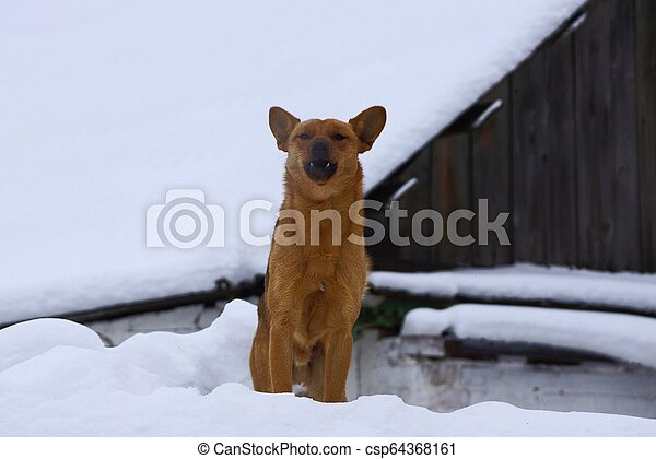 brown dog stands in white snow and barks aggressively - csp64368161