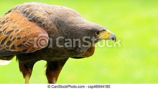 Brown Eagle Close Up - csp46944180