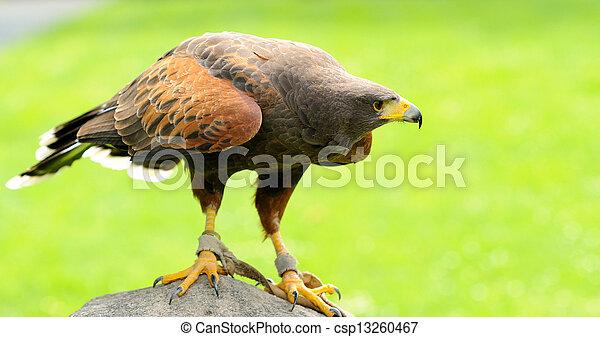 Brown Eagle - csp13260467