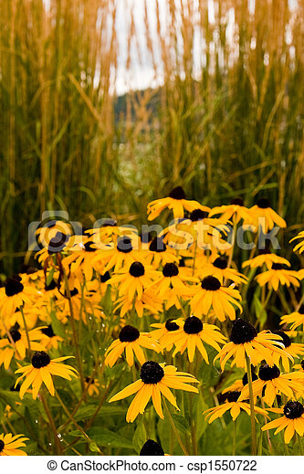 Brown Eyed Susans by Sea Oats - csp1550722