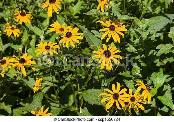 Brown Eyed Susans on Green - csp1550724