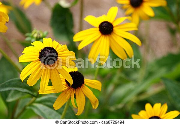 Brown Eyed Susans - csp0729494
