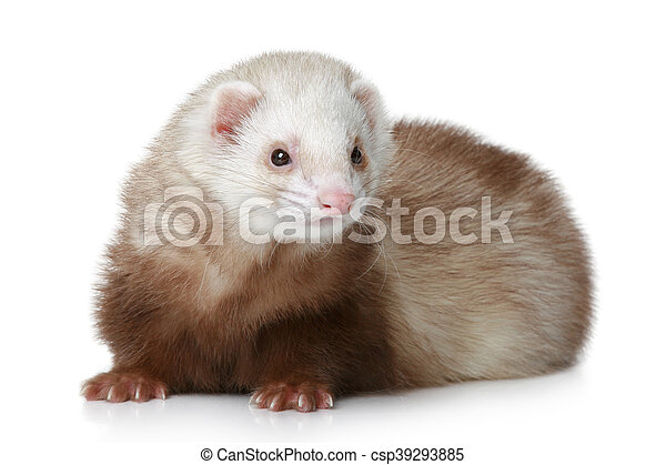 Brown Ferret lying on a white background - csp39293885