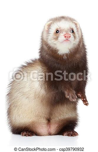 Brown Ferret on white background - csp39790932