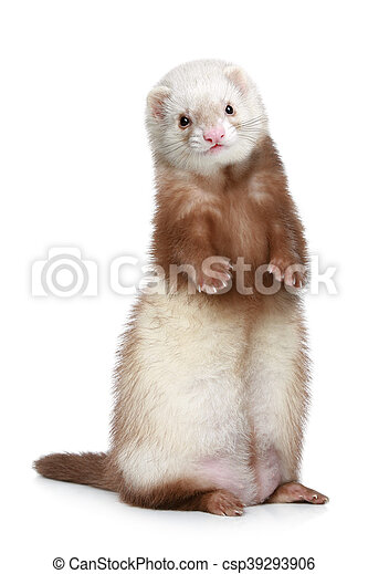 Brown Ferret standing on a white background - csp39293906