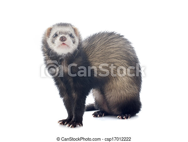 brown ferret - csp17012222