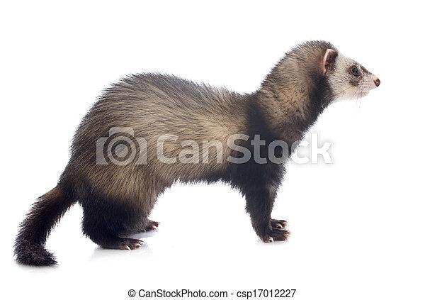 brown ferret - csp17012227