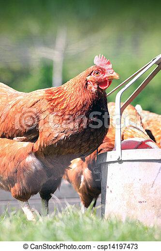Brown Hen Drinking 2 - csp14197473
