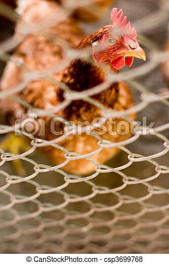 brown hen - csp3699768