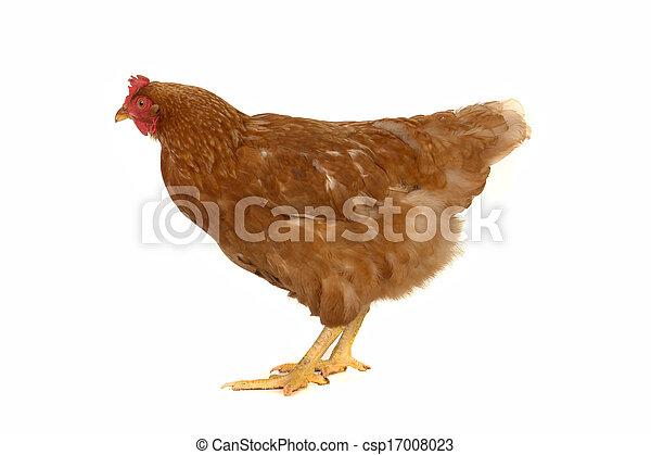 brown  hen - csp17008023
