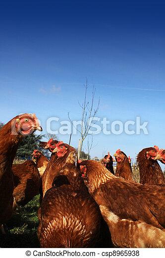 Brown Hens 3 - csp8965938