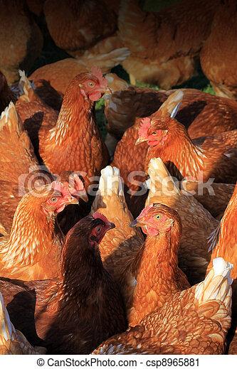 Brown Hens - csp8965881