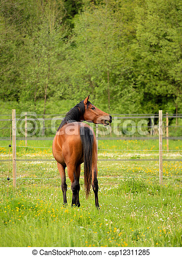 brown horse in a green meadow - csp12311285