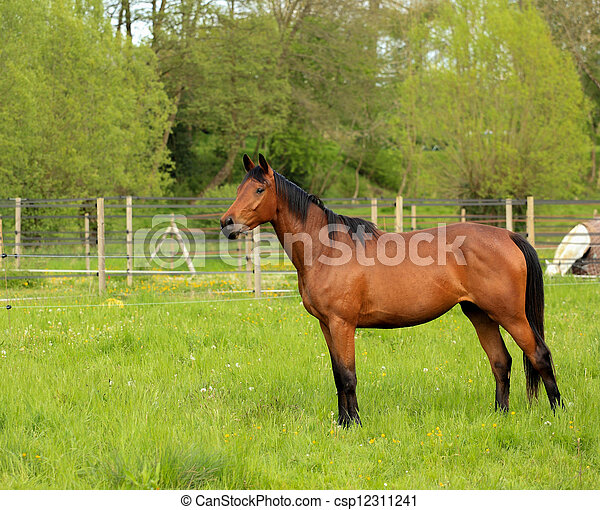 brown horse in a green meadow - csp12311241