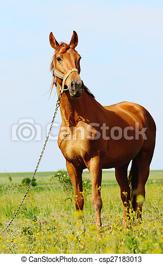 brown horse standing in field - csp27183013