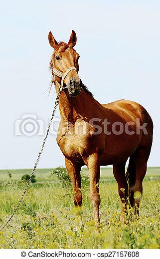 brown horse standing in field - csp27157608